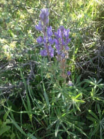 Idaho native fowering plant